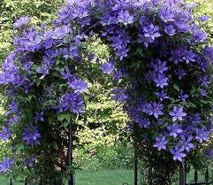 Цветы многолетние вьющиеся
