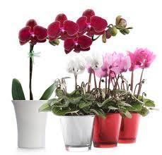 Горшечные цветы цветущие купить доставка цветов город северодвинск